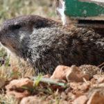 groundhog-1