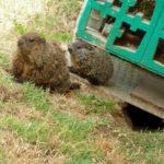 groundhog-8